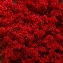 1 Gallon - Red Bougainvillea