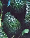 Hass and Fuerte Avocado-Year Round Fruit with our Two Tree Combo - 12 by 12 Inch Container