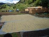 Two 66-lbs bags (132 lbs total) BOLIVIA CARANAVI (AAA) GREEN COFFEE BEANS by Invalsa Coffee (Image #5)