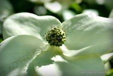 Exotic CORNUS KOUSA @ Chinese Dogwood Tree White Flowers red Fruit Seed 50 (Cornus Kousa Dogwood Tree)