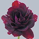 Rare Geranium Seeds Royal Black Rose Pelargonium Perennial Flower Seeds Hardy Plant Bonsai Plant