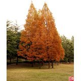 20-dawn-redwood-tree-metasequoia-seedscomb-s-h-by-seedville