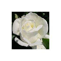 ROSE SILVER ANNIVERSARY PATIO STANDARD-Silver Wedding Anniversary 25th Wedding Anniversary Gifts  sc 1 st  Amazon UK & ROSE SILVER ANNIVERSARY PATIO STANDARD-Silver Wedding Anniversary ...