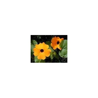 Thunbergia alata Mixed Color Flowers Exotic Vine SEEDS! : Garden & Outdoor