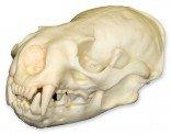 American River Otter Skull (Teaching Quality Replica)