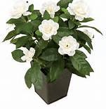 Large Fragrant Gardenia in Woven Basket