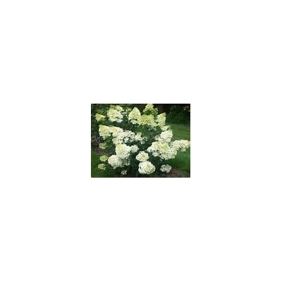 (2 Gallon) Hydrangea paniculata 'Grandiflora' is a deciduous Shrub That Produces Beautiful White Blooms, That Ages to Pink. : Garden & Outdoor