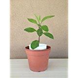"9EzTropical - Longevity Spinach - Sabuñgai - Gynura procumbens - 2 Plant in ONE 3"" Pot"