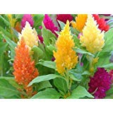 Celosia Mix, Large flowers (300 Seeds) also called Cockscomb, Easy-to-Grow