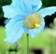 Meconopsis - Baileyi, Himalayan Poppy - 20 Seeds