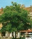 Celtis occidentalis HACKBERRY TREE Seeds!
