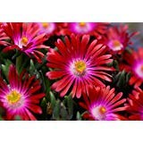 Delosperma sp. RUBY STARS ICE PLANT Hardy Exotic SEEDS! ()