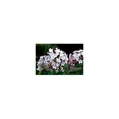 (1 Gallon) Juddii Viburnum-intoxicatingly Fragrant Garden Shrub, Rounded Clusters of White Blooms : Garden & Outdoor