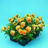 50 Viola Seeds Viola Angel Terracotta