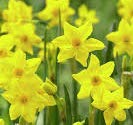 - (10) Baby Boomers Jonquilla Daffodil Bulbs, Fragrant Pretty Flowers, Great Value