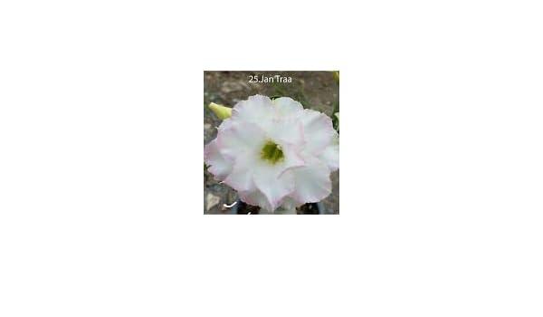 succulent desert rose plant,adenium no25 jan traa,usa free shipping