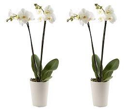 Color Orchids Live Double Stem Phalaenopsis Orchid in Ceramic, 20-24'', Assorted (2-(Pack)) by Color Orchids