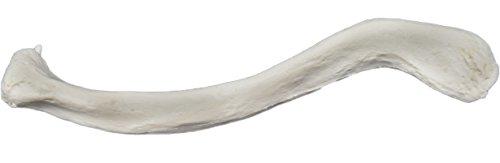 Clavicle Bone Model - Left - Anatomically Accurate Human Clavicle Bone Replica - hBARSCI ()
