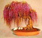 10PC Rare Gold Mini Bonsai Wisteria Tree Seeds Indoor Ornamental Plants