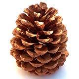 Winter Woods Cinnamon Scented Pinecones 12-14/Pkg, Large]()