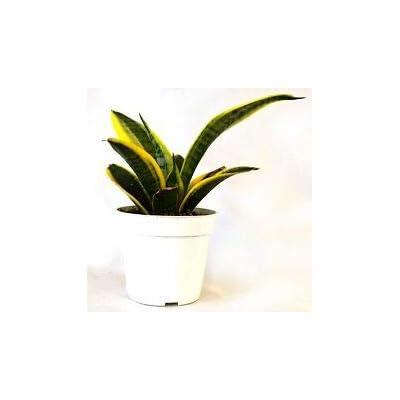 "Superba Robusta Snake Plant - Sanseveria - Impossible to Kill! - 4"" Pot Gift from Grandiosy Farm : Garden & Outdoor"