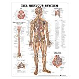 Leaves Teaching Chart - The Nervous System Anatomical Chart