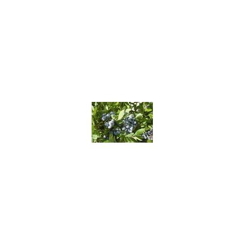 Cheap (1 Gallon) Ochlockonee Blueberry Shrub, Heavy Quantities of Late Ripening, Large Fruit, Late Fruiting, Vigorous, Upright Shrub hot sale