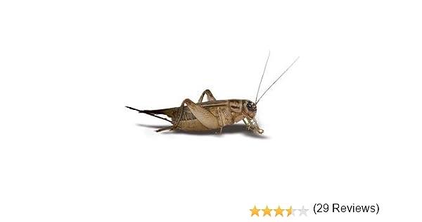 Amazon.com : 250 Live Crickets - 3/4