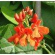 David\'s Garden Seeds Flower Scarlet Runner Bean (Edible Flowers) D1000A (Red) 25 Heirloom Seeds