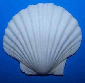 KARPP 1 Baking Scallop Clam Shell Seafood Cooking Shells 3