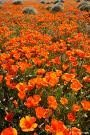 The Dirty Gardener California Poppy Wildflowers - 150,000 Seeds/1 Pound