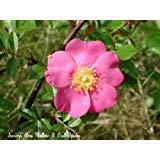 (25 PINK SWAMP ROSE Rosa Palustris Flower Seeds)
