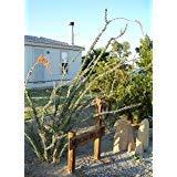 25 Seeds, Ocotillo, Fouquieria splendens, Exotic Cactus Candlewood Jacob's Staff