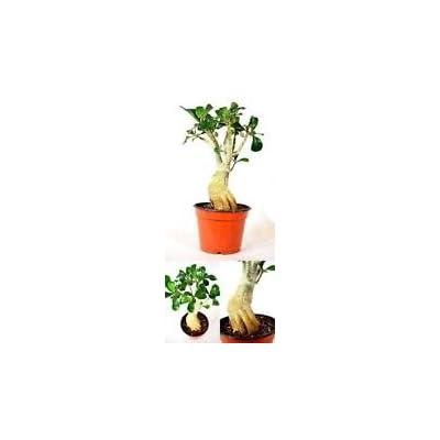 Adenium Desert ROSE Miss Beauty House Plant BonsaI Garden Outdoor Live Tree New: Garden & Outdoor