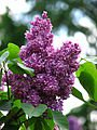 Palibin Lilac - Live Plants Shipped 1 to 2 Feet Tall by DAS Farms (No California)