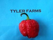 25+ 7 Pod/Pot Brain Strain Pepper seeds - (hot chile, chili) (Chili California Pod)