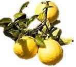 Bloomsz Citrus Fruit Tree Ponderosa Lemon - 1 year old