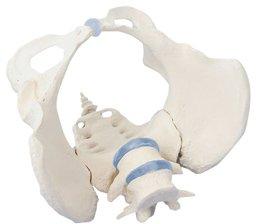 骨盤モデル(女性) 4058 (24-6836-01)【エルラージーマー社】 B07BD2JFD1