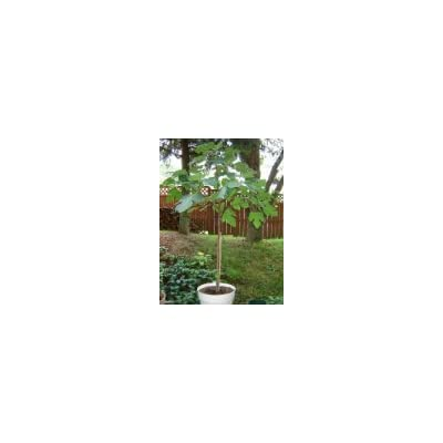 Italian Fig Tree Plant (4 Foot) : Garden & Outdoor