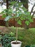 Italian Fig tree Plant (4 Foot )
