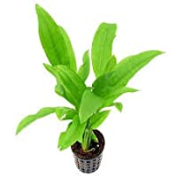 Amaze Aqua Echinodorus Bleheri Aquarium Plants - Amazon Sword