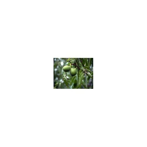 CARPATHIAN ENGLISH WALNUT TREE - 2 year old