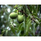 CARPATHIAN ENGLISH WALNUT TREE - 2 year (English Walnut Tree)