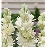 3 Double Mexican Tuberose