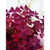 NewRed Oxalis Wood sorrel Flower Oxalis Purple Shamrock Clover 100% Real flower bonsai 100+ seeds