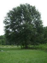 (Laurel Oak Tree - 2 Year Old 4-5 Ft Tall - Bob Wells Nursery)