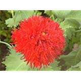 (100 OASE RED PEONY POPPY Papaver Peoniflorum Flower Seeds)