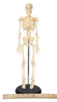 Anatomical Chart Co My First Skeleton (Tiny Tim) Stand Included (Tiny Skeleton Tim)
