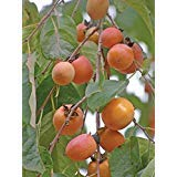 (American Persimmon, Diospyros virginiana, 10 Tree Seeds (Edible Fruit, Hardy))