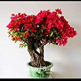 Red Bougainvillea Spectabilis Seeds 100 Seed/bag